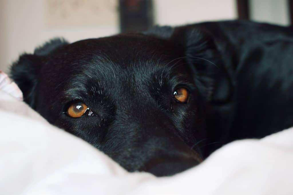 Labrador Live? Labrador Lifespan