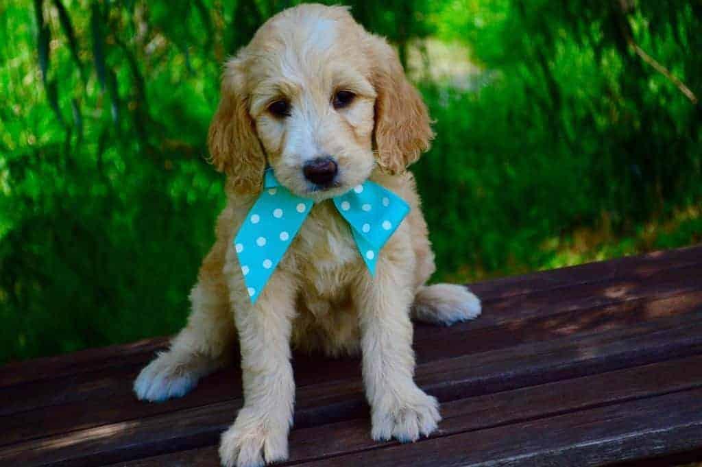 goldendoodle-Mini golden puppy