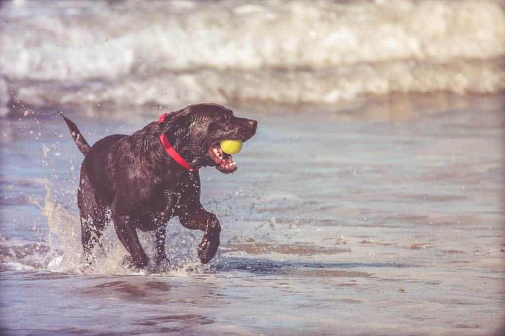 Where do Labrador Retrievers come from