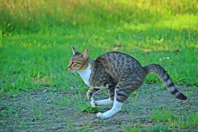 Do German Shepherds and Cats Get Along { Helpful Guide}   Retriever Pets