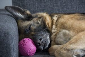 Weird German Shepherd sleeping Habits