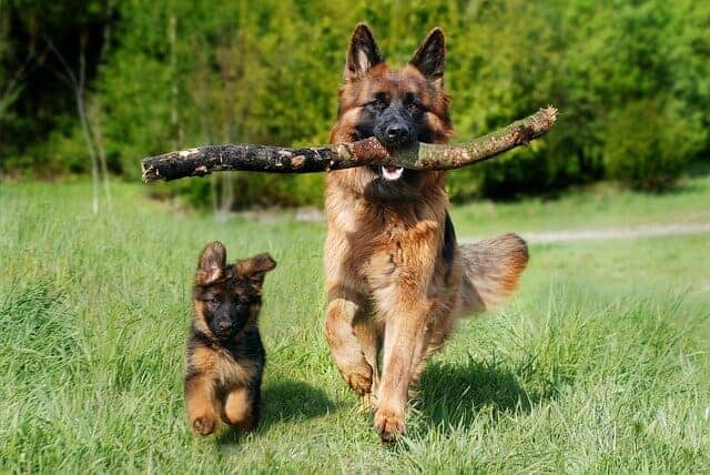 german shepherds and cats