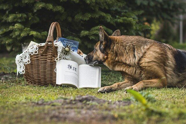 gsd and cats