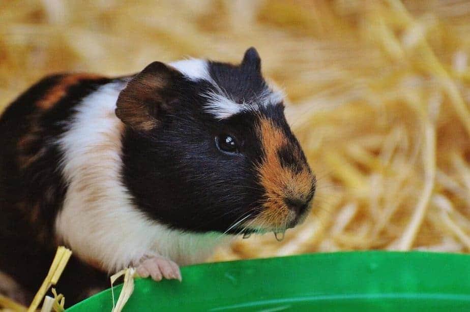 Risks of Neutering a Guinea Pig