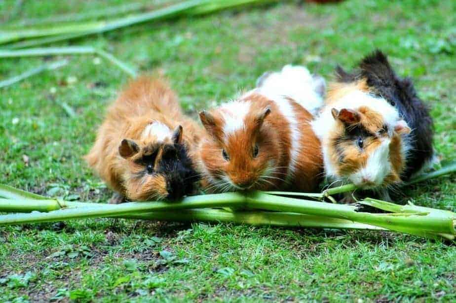 How Much Does it Cost to Neuter a Guinea Pig