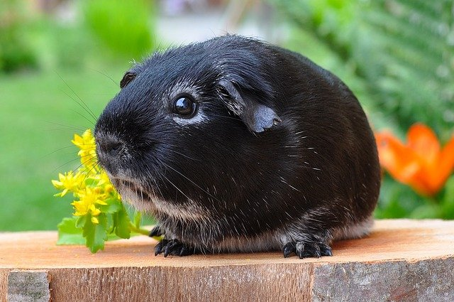 Is one Guinea Pig Okay on its own
