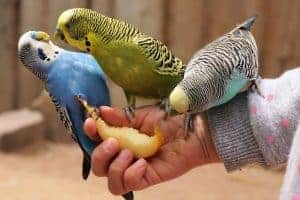 How Long Do Parakeets Live without Food and Water