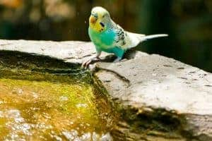 link to What do parakeets drink water out of [Bottles or Bowls] What do parakeets drink water out of