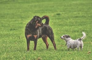 rottweiler get along other dogs