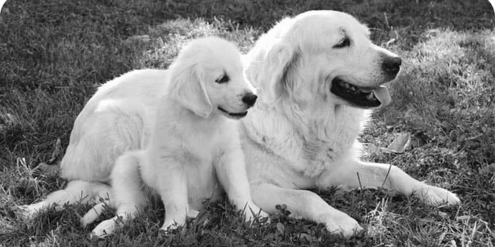 English golden retriever mother with puppy