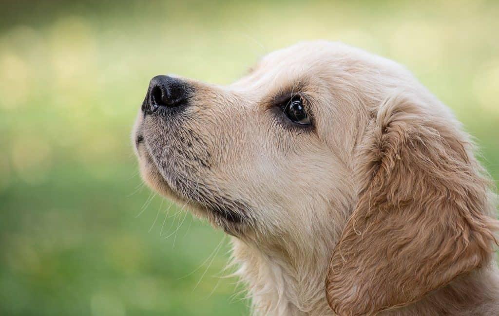 50 Facts About Golden Retrievers